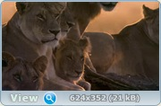 ����������� �����: ����������� �������� / African Cats (2011/BD Remux/1080p/720p/HDRip)