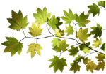 floral112_maple_leaves_small_mskitty.png