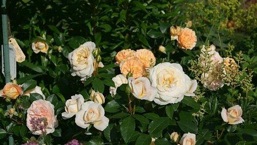 роза оза фото