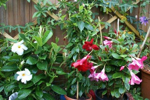 Мандевилла  Красивоцветущие растения  Комнатные растения