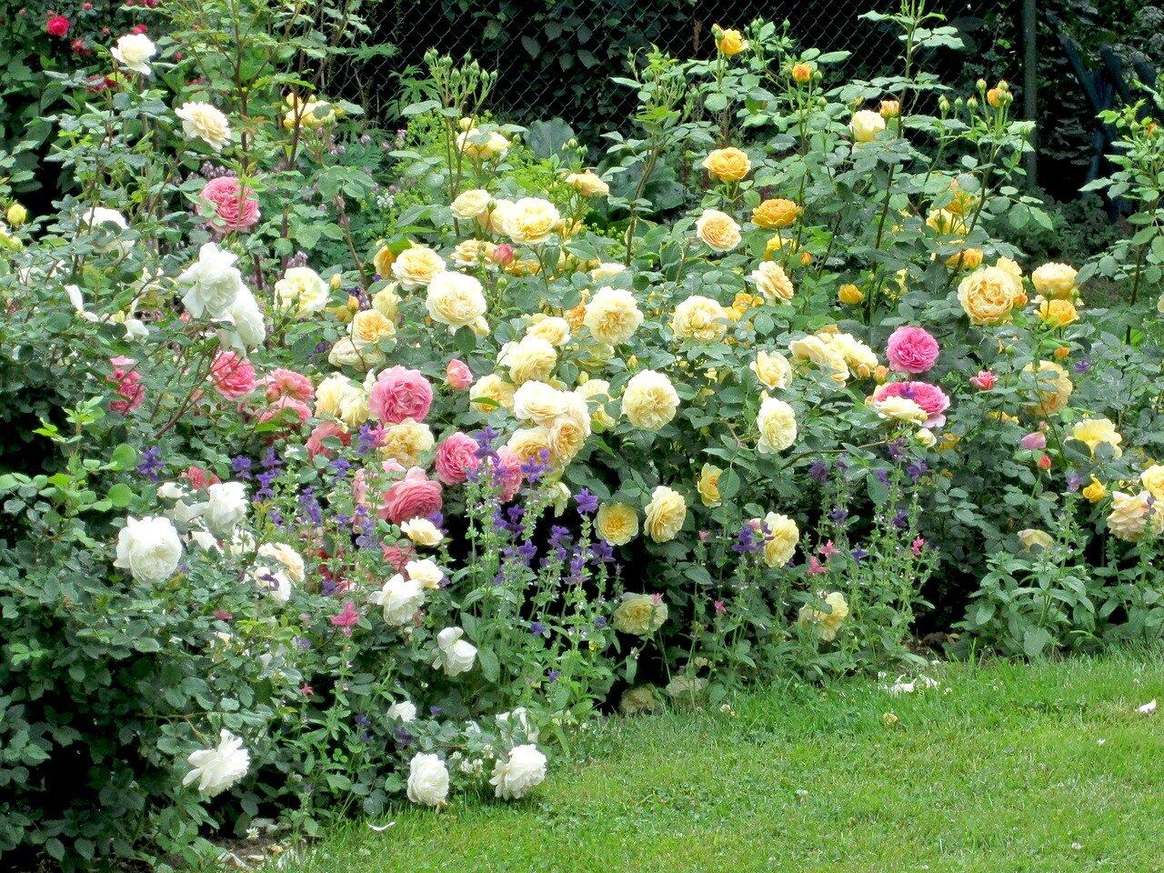 На каком расстоянии сажать кустовые розы друг от друга 74