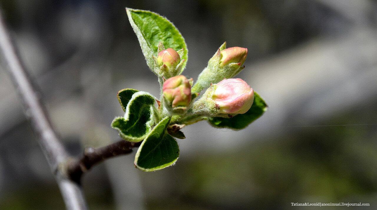 Яблоня в бутонах