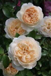 Роза Личфилд Энжел, английская роза (Lichfield Angel )  Остин, 2006