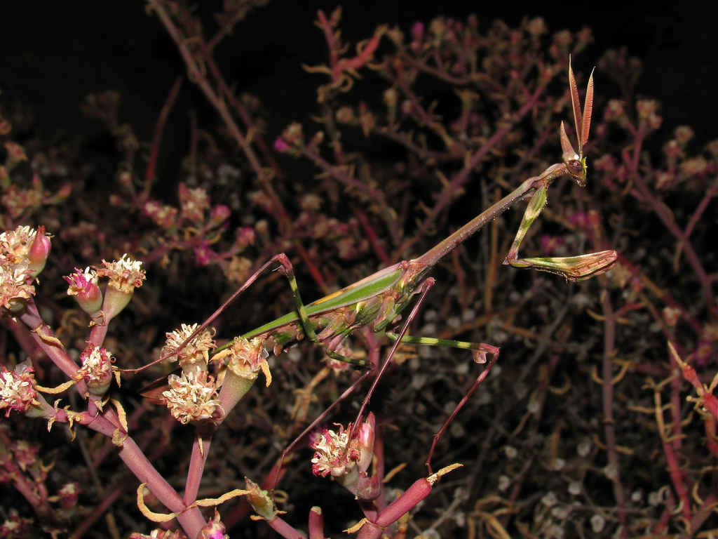 Эмпуза-капелька (Empusa guttula)