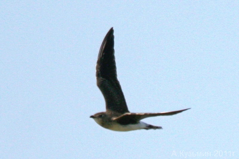 Степная тиркушка (Glareola nordmanni)