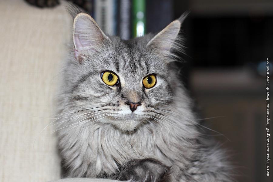 Мейн-кун кошка Флора