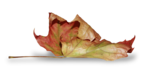 natali_design_dream_leaf2-sh2.png