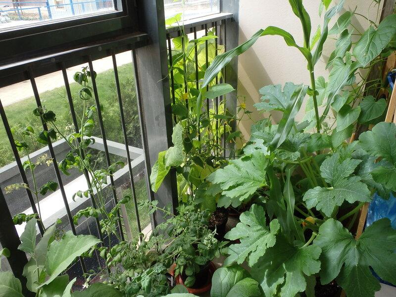 Огород на балконе 11 июля 2015 года - зеленые насаждения.