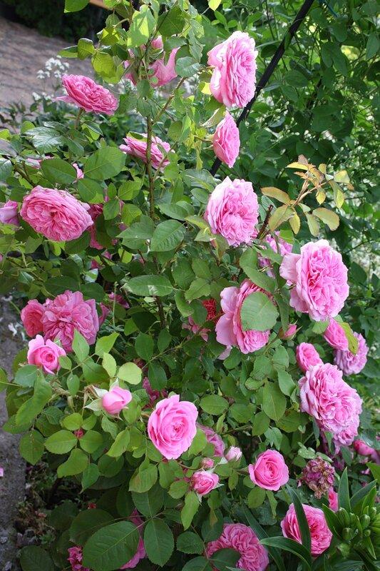Роза Гертруда Джекил , английская роза (Gertrude Jekyl)Austin, 1985