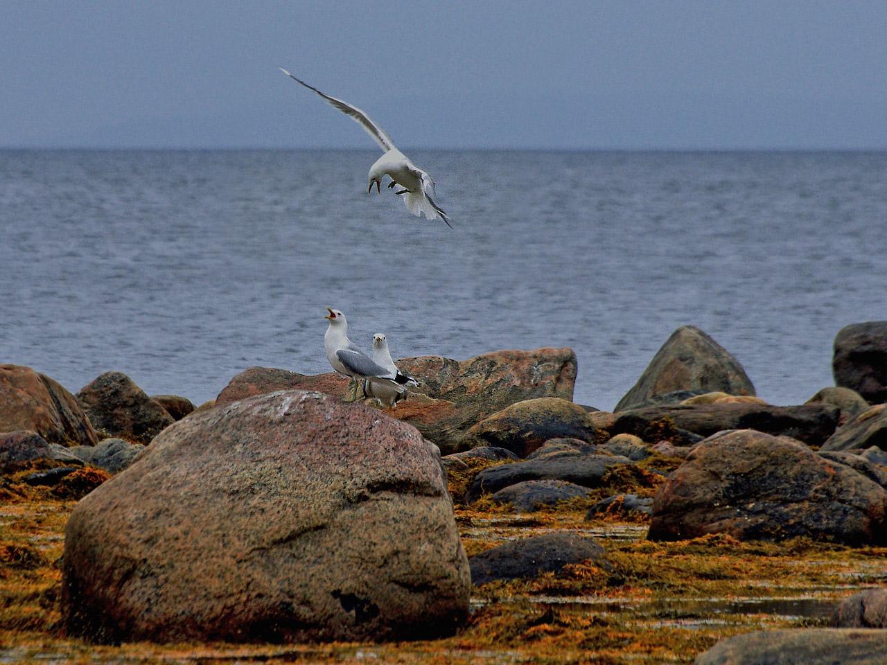 Сизая чайка (Larus canus). Автор фото: Юрий Семенов