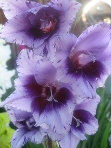Гладиолус крупноцветковый Пассос (Passos), Mantel Holland