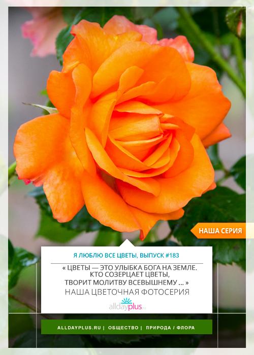 Я люблю все цветы, выпуск 183 | Роза - «Королева цветов».