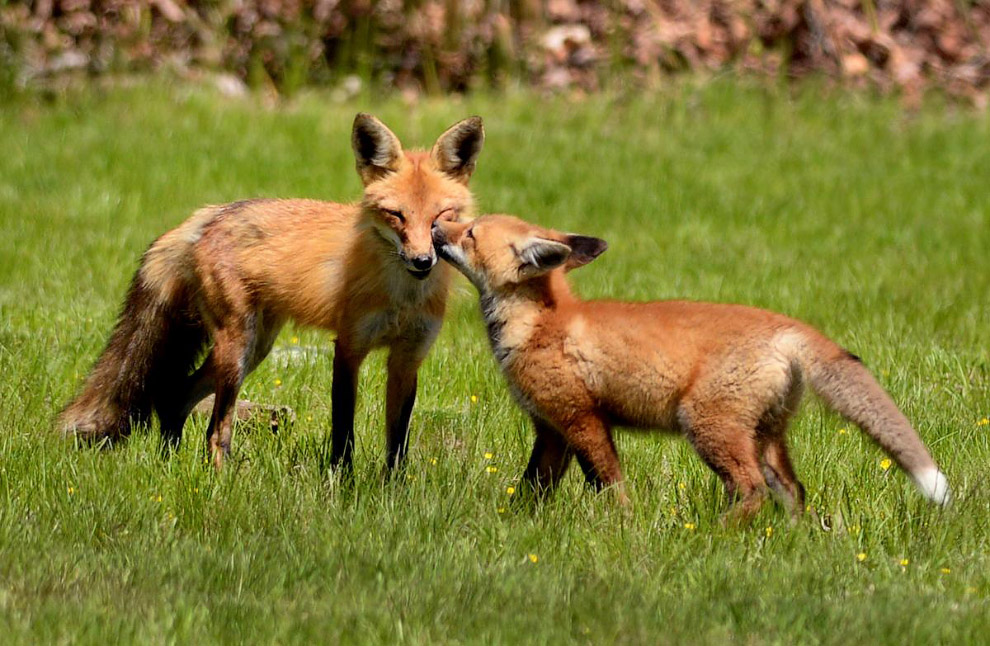 11. Семья лис, живущих на кладбище в Массачусетсе. (Фото Debee Tlumacki):