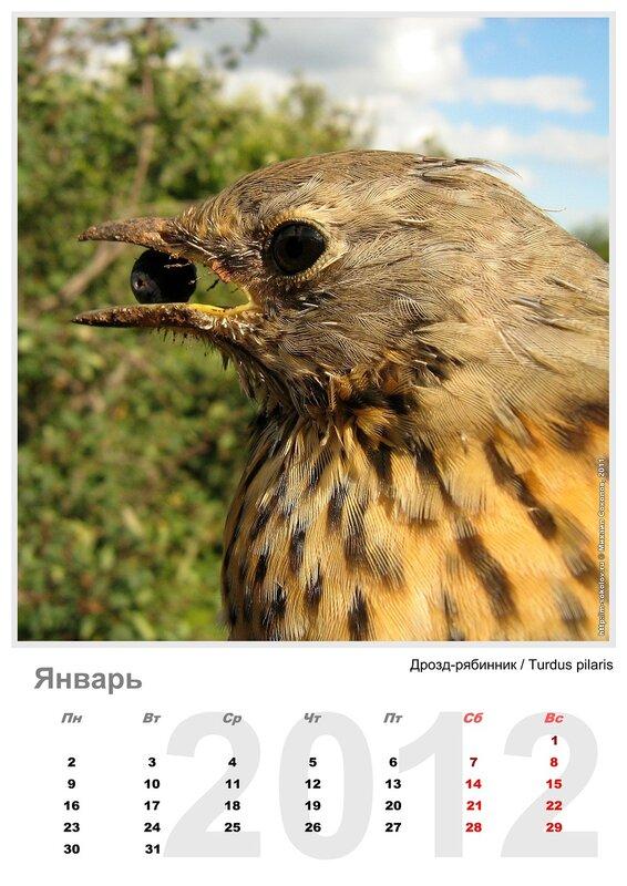 Календарь «Птицы 2012» Январь - Дрозд-рябинник / Turdus pilaris