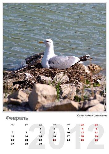 Календарь «Птицы 2012» Февраль - Сизая чайка / Larus canus