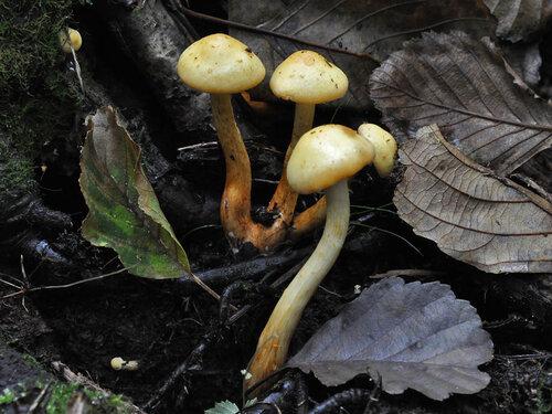 Альбом:  Грибы - Fungi Strophariaceae - Строфариевые Автор фото: Владимир Брюхов