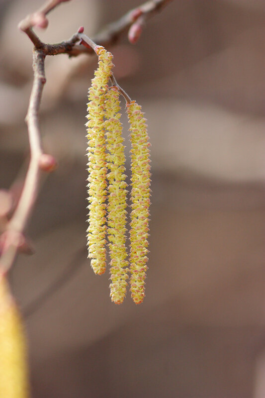 Three birch catkins