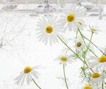 зимние ромашки