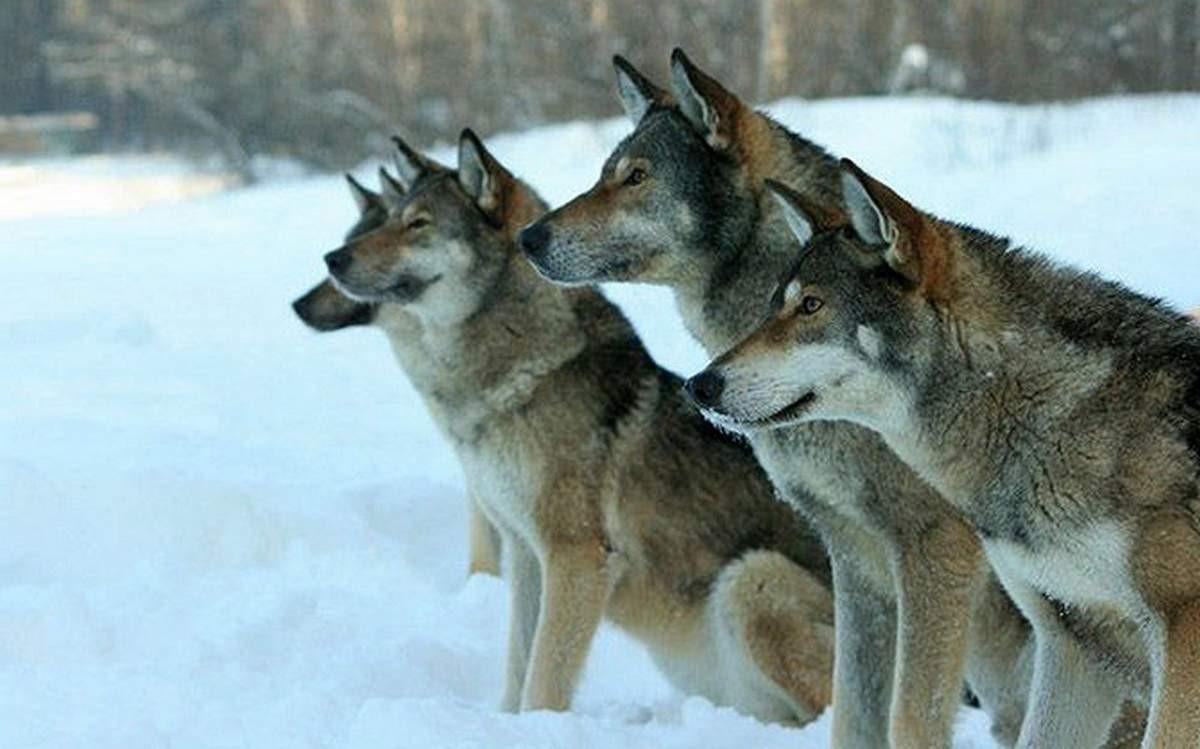 фото волкособа