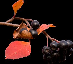 черноплодки