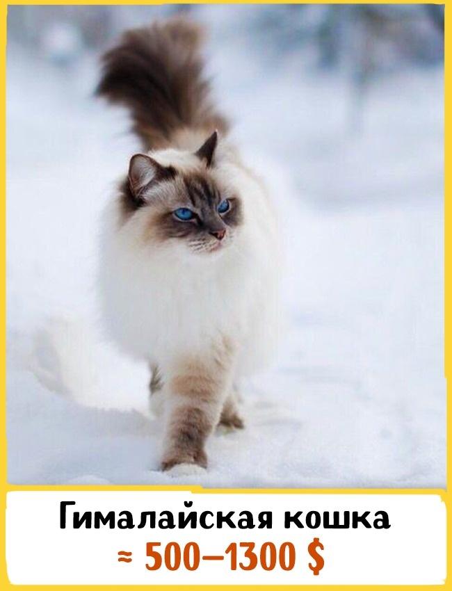 © 500px.com  Эта порода очень похожа наперсидскую, ноотличается голубыми глазами иокраской