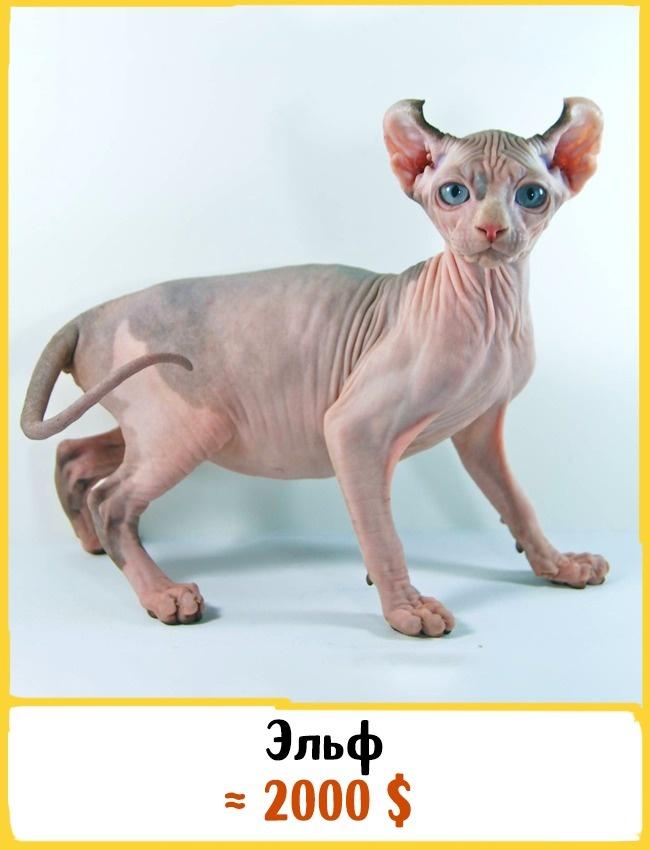 © deathandtaxesmag.com  Эта молодая порода кошек была выведена вСША в2006году. Эльфы очень