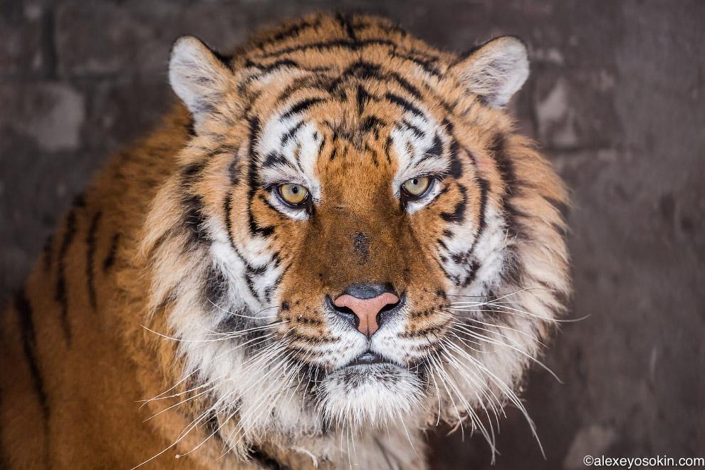 18. Знакомьтесь, амурский тигр Дима. Полгода назад его забрали совершенно больным и истощённым