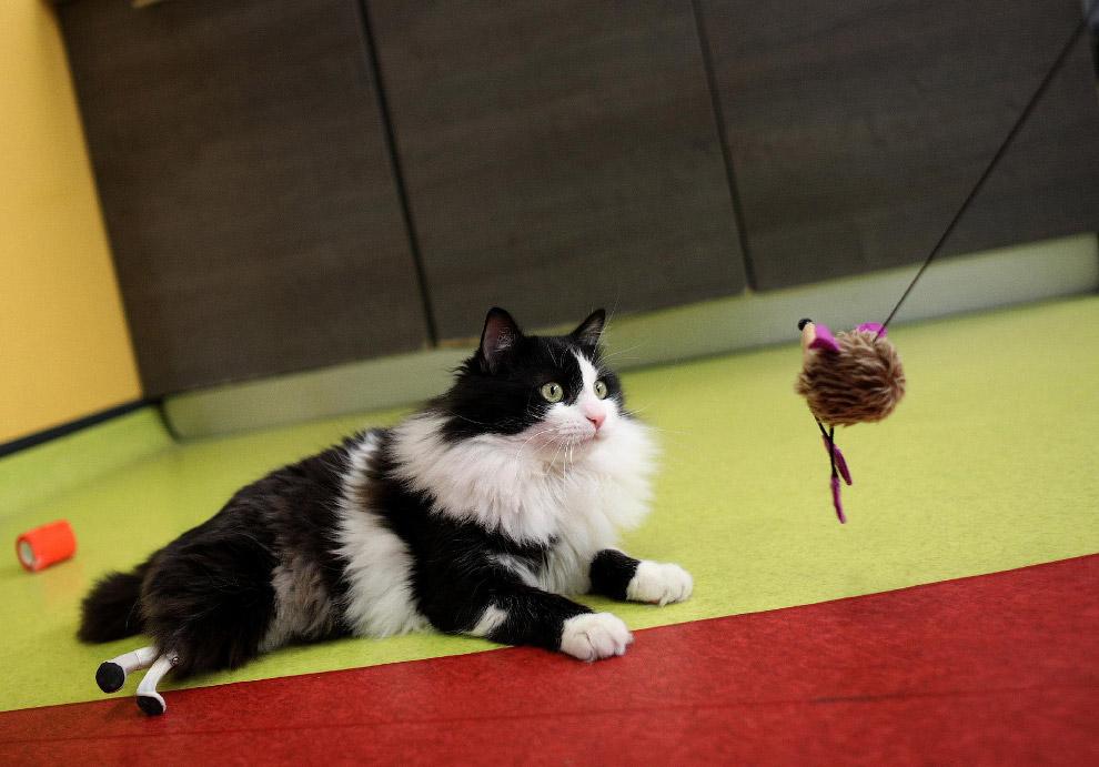 5. Как и все кошки, кот чистоплотный. Он вылизывает не только передние лапы…(Фото Nikolay Doych
