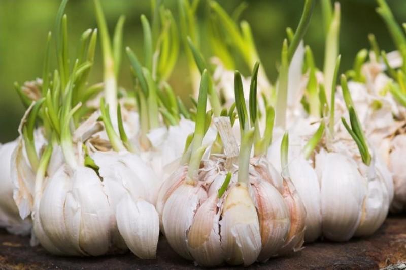 8. Чеснок Комары боятся не просто запаха обычного чеснока, а аромата побегов чеснока на цветочной кл