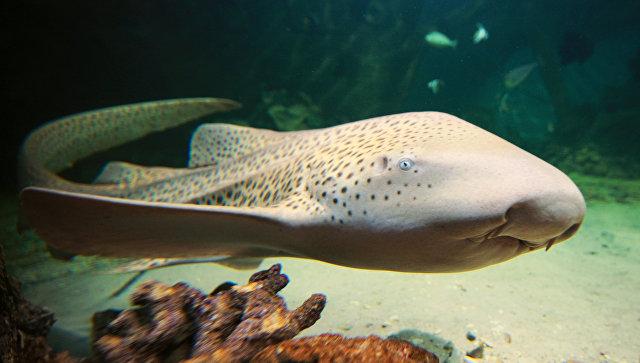 Зебровая акула вневоле перешла на«непорочное размножение»