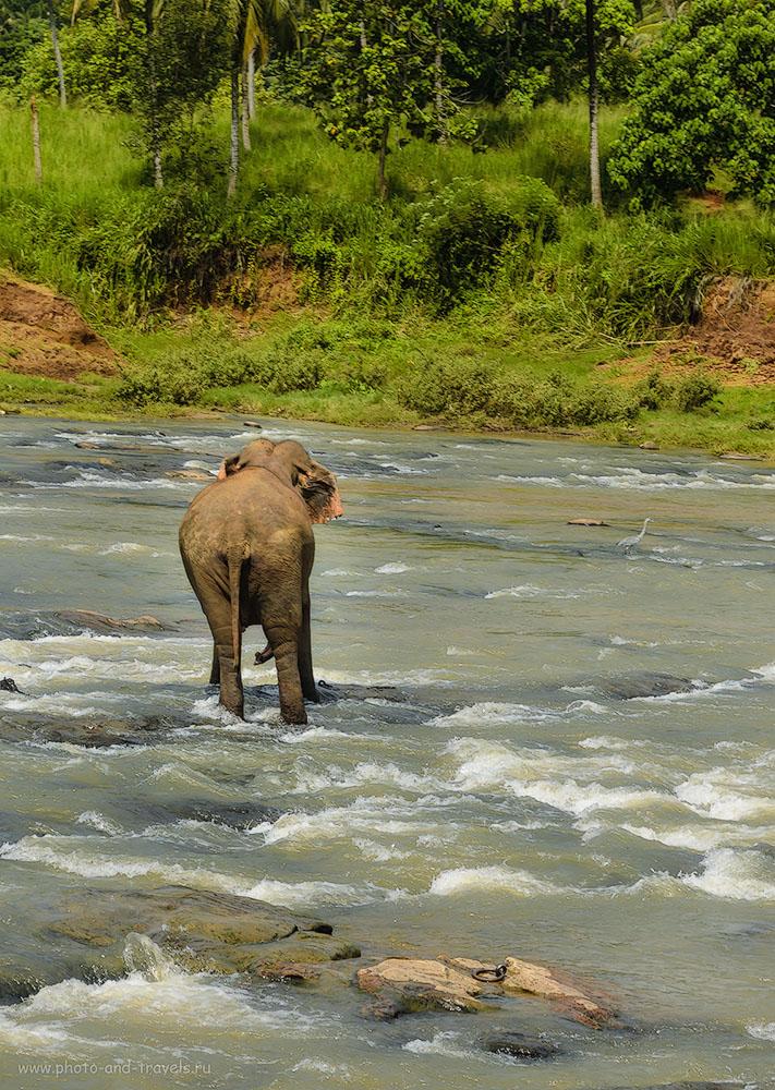 Фото 10. В каждом стаде найдется своя паршивая овца... или слон... :) Отдых на Шри-Ланке. Отзывы туристов.