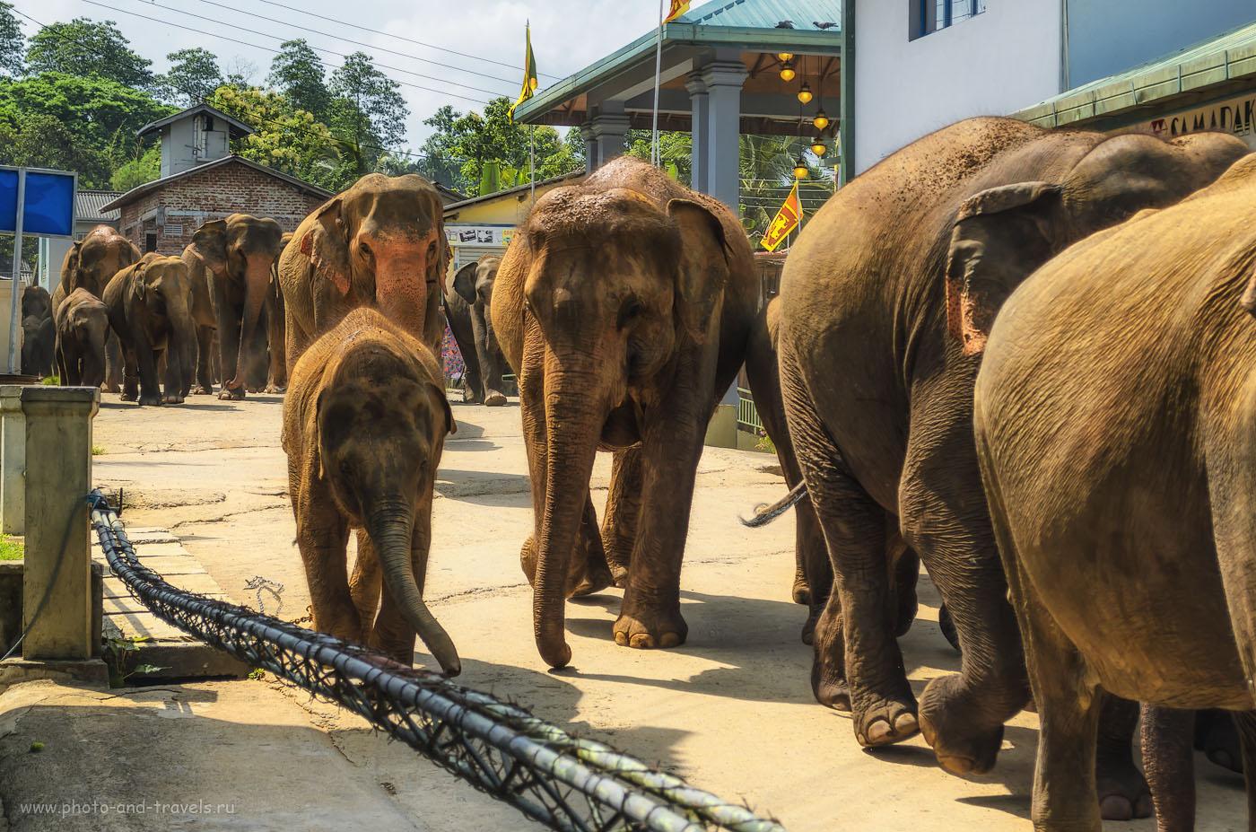 Фото 8. Такие громадины ходят по улице в деревне Пиннавела. Отчет об экскурсии в питомник слонов на Шри-Ланке.