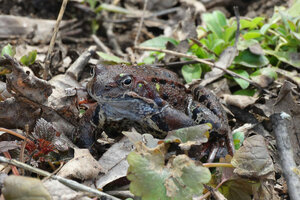 Травяные лягушки запели