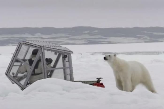 Оператор оказался лицом к лицу с белой медведицей