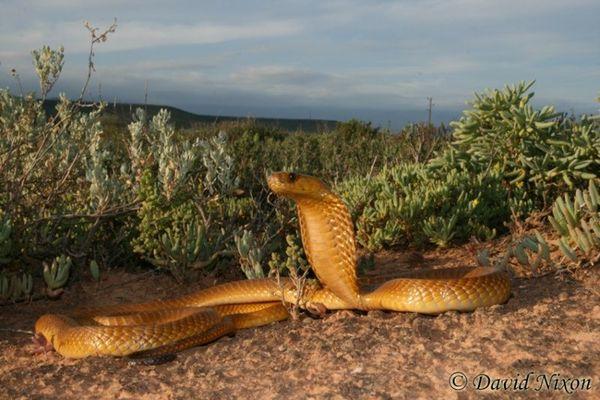 Эта полутораметровая змея не является самой большой или самой широко распространенной ядовитой