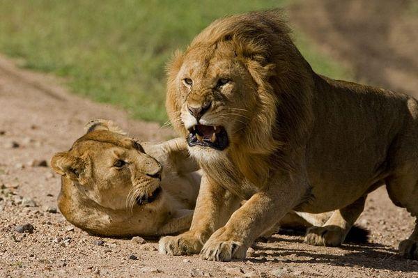 Львы охотятся днем и ночью, поодиночке, и в стаях. Ни одно существо не является для них ни слиш
