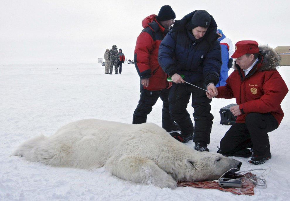 6. Путин и белый мишка. Президент измеряет белого медведя под наркозом во время визита в исследовате