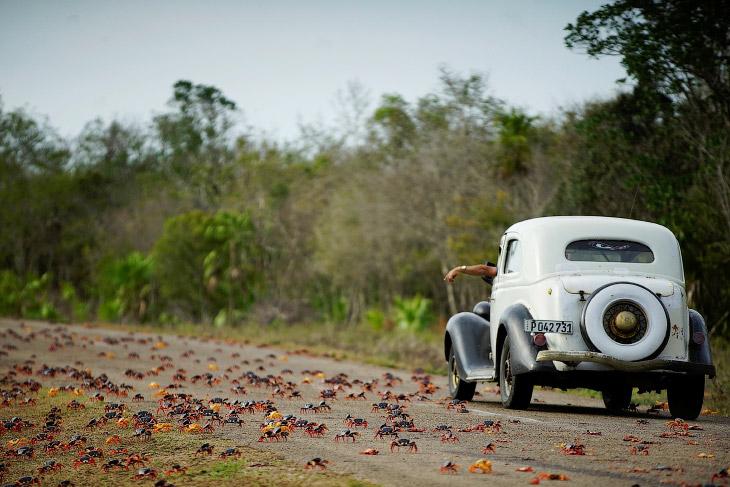 1. Это ежегодная миграция крабов на Кубе. Тысячи особей движутся по направлению к пляжу Плая-Хи