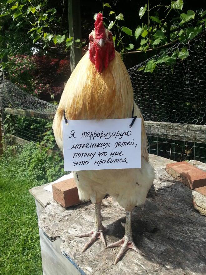 Шкодливые курицы, которые набрались смелости признаться в своих грехах