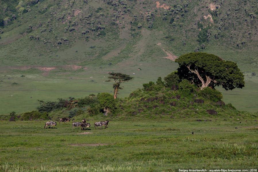 8. Газели Томпсона вертят своими короткими черными хвостиками, постоянно озираясь в поисках опа