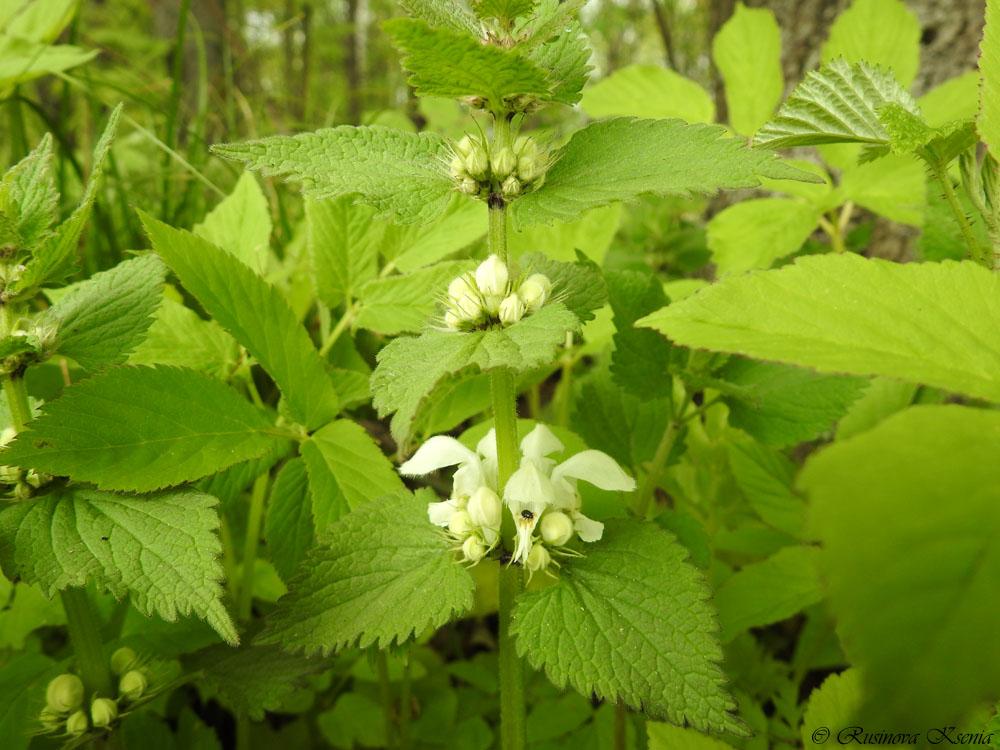 Ясно́тка бе́лая, или глуха́я крапи́ва (лат. Lámium álbum) — многолетнее травянистое растение, вид рода Яснотка (Lamium) семейства Яснотковые (Lamiaceae), или Губоцветные (Labiatae).