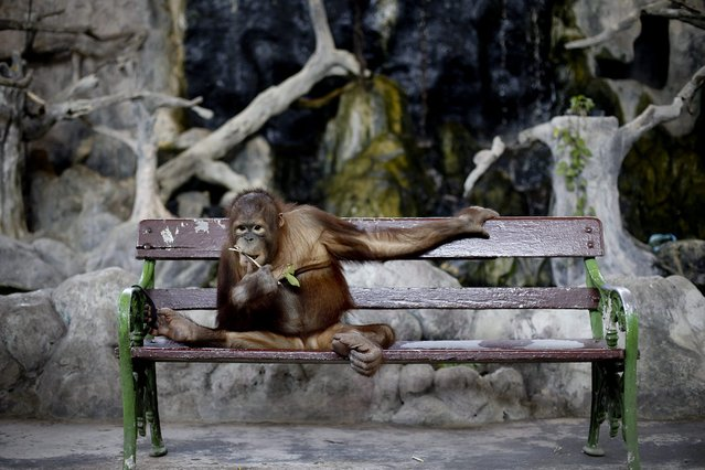 A photo made available 29 February 2016 shows an orangutan leached to a bench waiting for visitors t