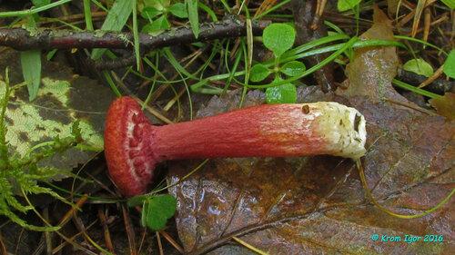 Болетин азиатский (Boletinus asiaticus) Автор фото: Кром Игорь