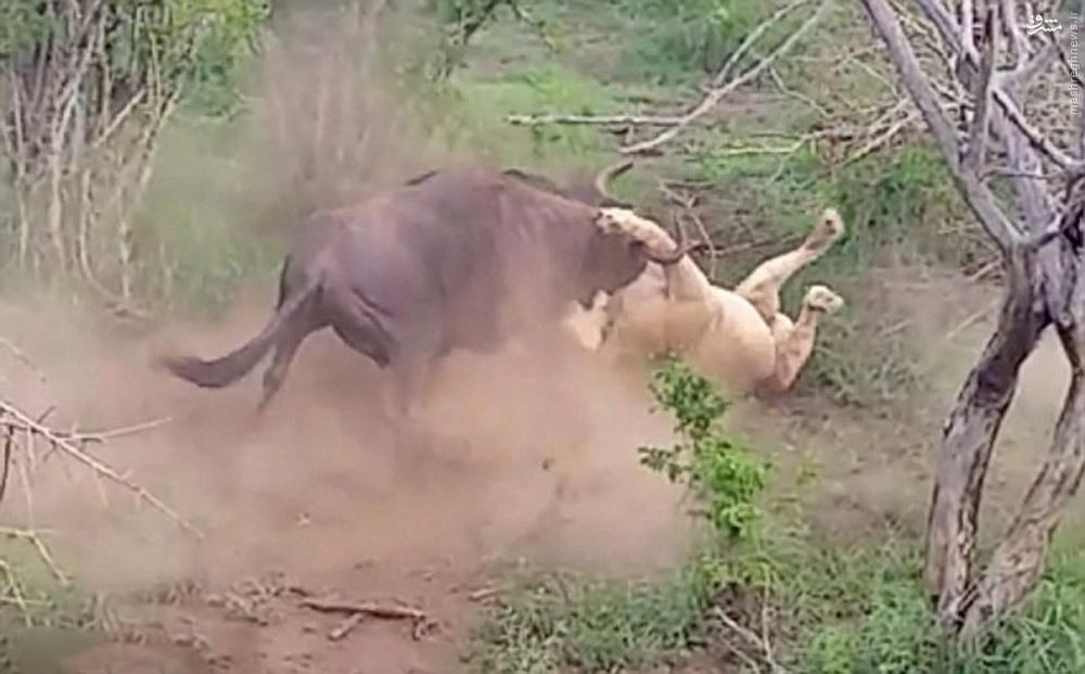 sochnih-videoroliki-safari-iz-poslednih-sil