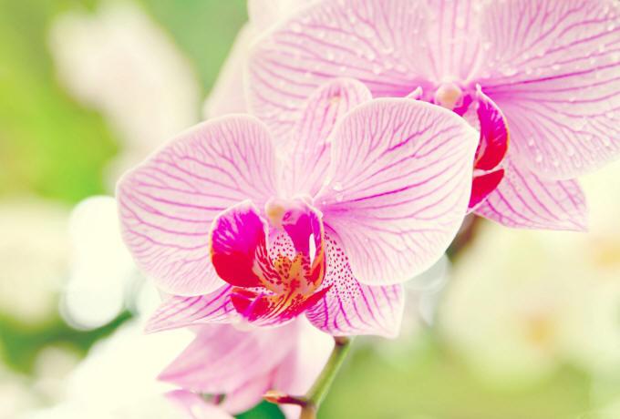 рожеві орхідеї