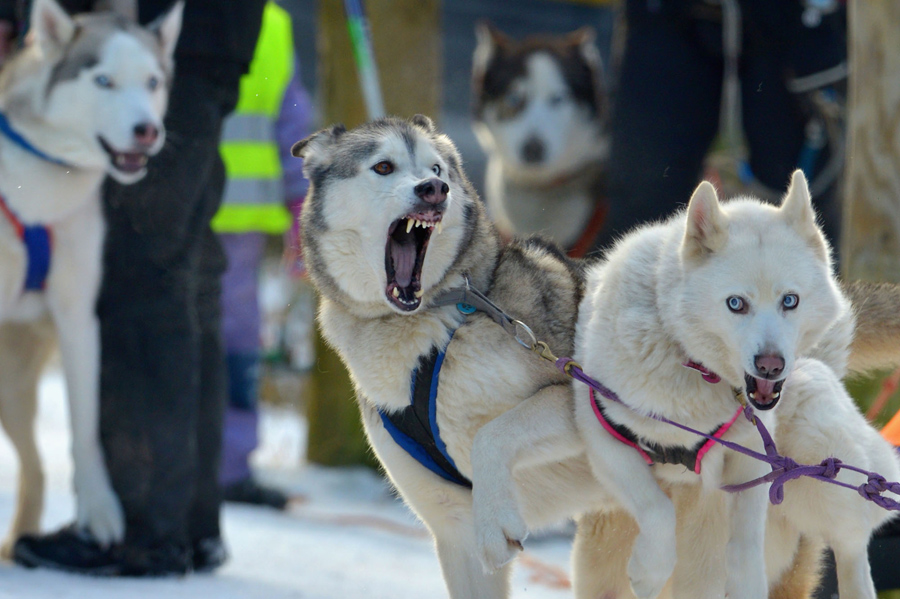 Sledders and their huskies gather in a forest course during practice for the Aviemore Sled Dog Rally