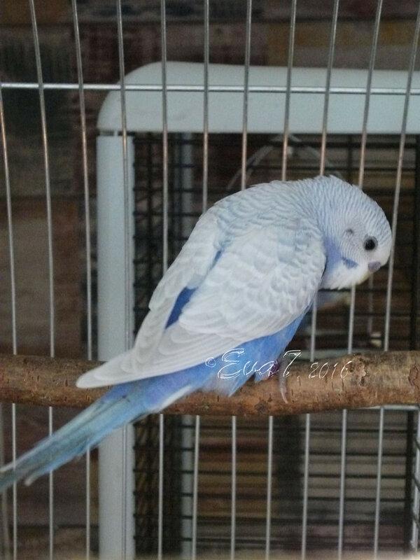Продам птенцов волнистого попугая. Киев 0_c34e3_624f3aba_XL