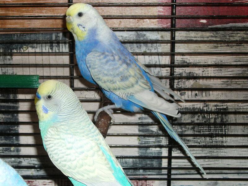 Продам птенцов волнистого попугая. Киев 0_c350c_988a7b8d_XL