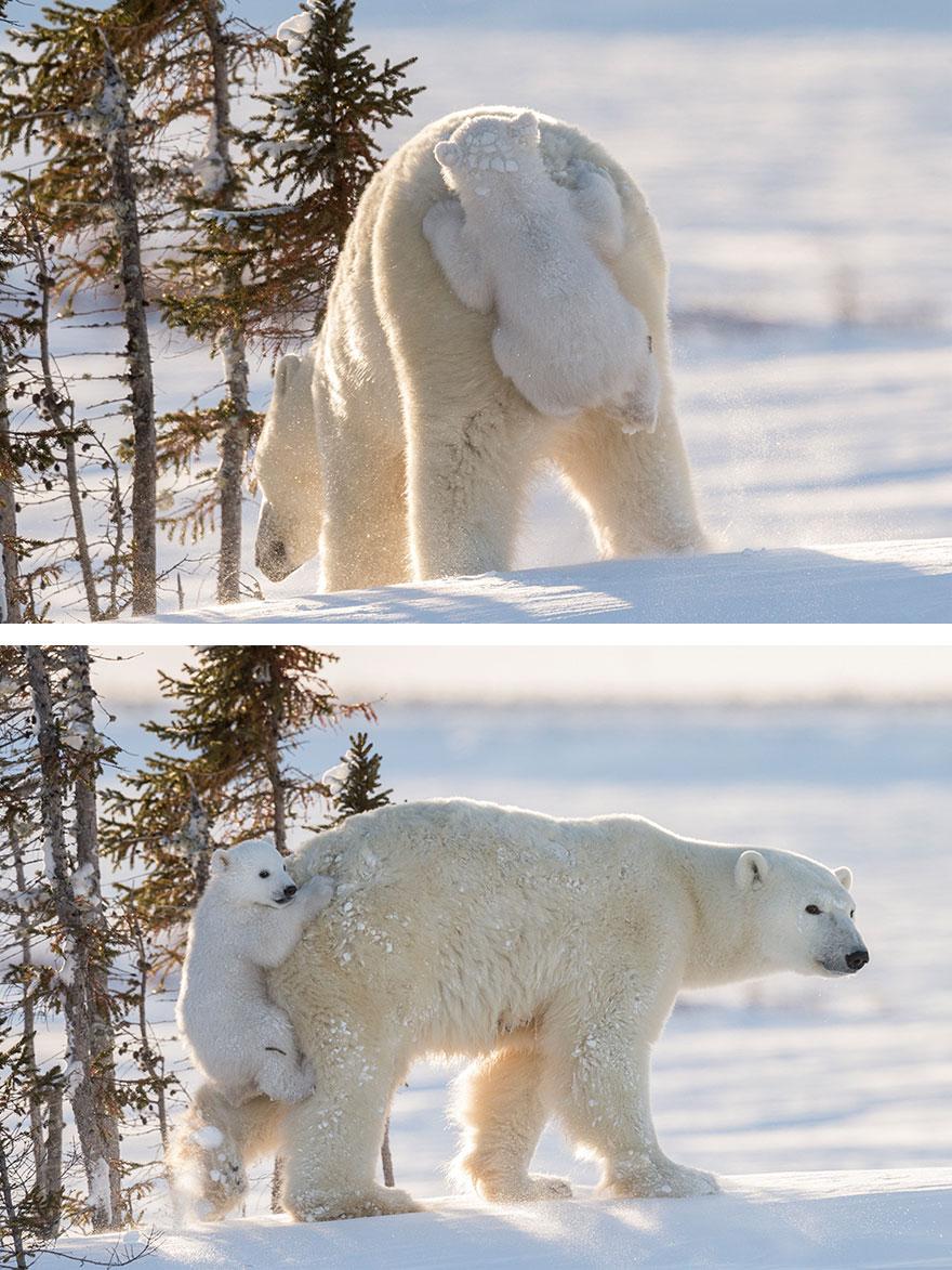 День полярного медведя. Медвежонок едет на маме