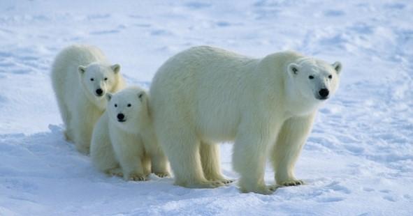 Международный день полярного медведя. 27 февраля открытки фото рисунки картинки поздравления